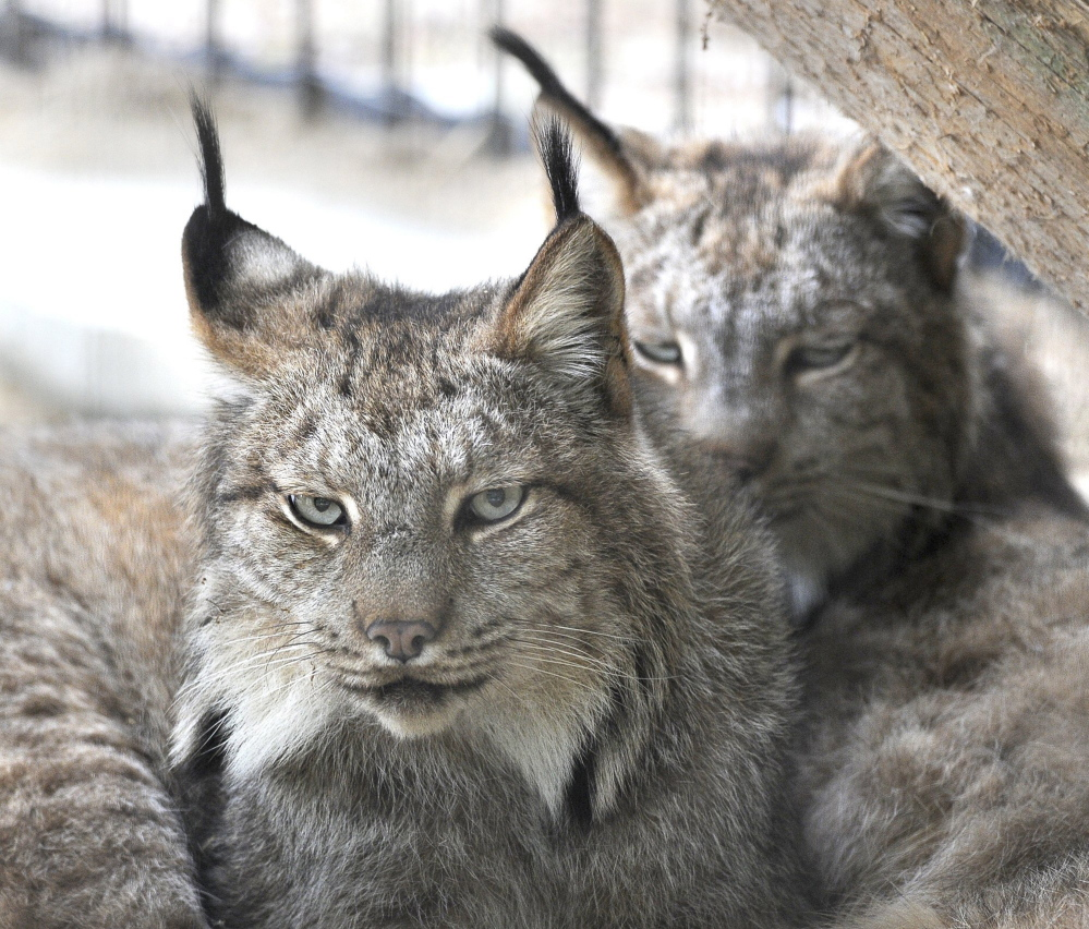 2012 Press Herald File Photo/John Patriquin A pair of Canada lynx share a home at the Maine Wildlife Park in Gray. Three groups are trying to block Maine's fur-trapping season.