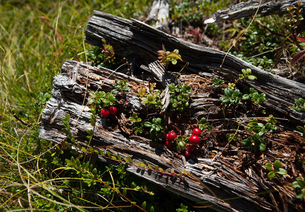 Wild cranberries grow in a decaying blow down along the shore line trail at the preserve. Wild blueberries are also commonly seen along the trail.