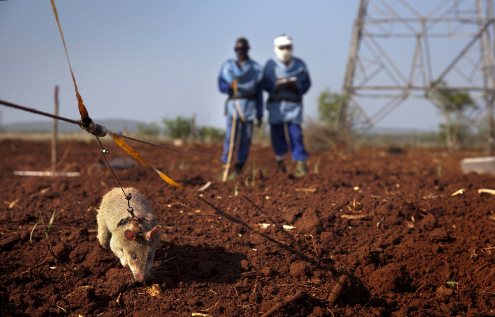 One of Planson International's assignments: supplying equipment for a project that used trained rats to detect land mines in Mozambique. The rats are trained to detect the smell of land mines and scratch the surface to mark the location. Humans then detonate the land mines or deactivate and remove them.