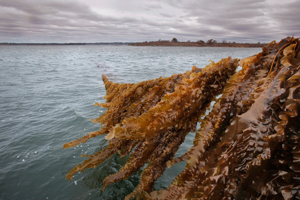 A line of kelp rises from Casco Bay off the coast of Chebeague Island in 2014 as part of a kelp farm operated by Ocean Approved. A second company, Shearwater Ventures, now has a state lease on nearly 4 acres of seabed off Chebeague.