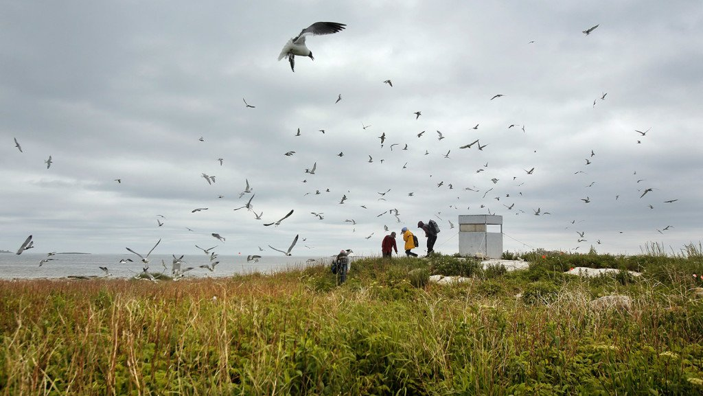 Numerous birds fly overhead as people leave a bird-watching blind on Eastern Egg Rock. The island is one of three islands in the Gulf of Maine where puffin breeding colonies have been established. The island is also home to arctic terns and laughing gulls.