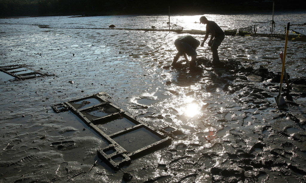 Devin and Dana Morse, an extension associate with Maine Sea Grant and the University of Maine Cooperative Extension, place razor clams into a test area at Lowe's Cove near the Darling Marine Center.