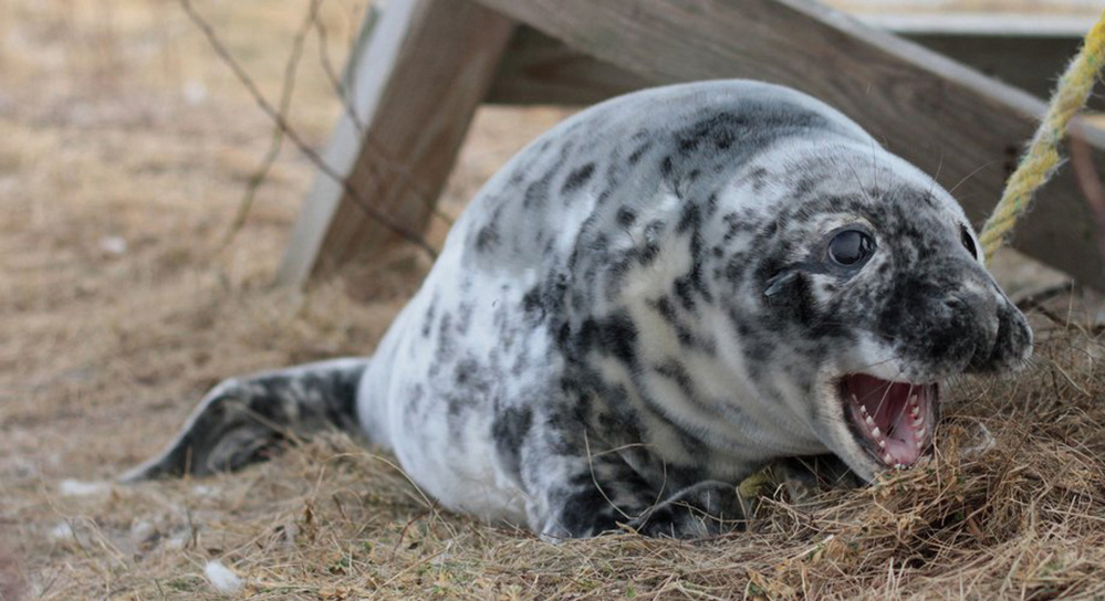 Although just a pup, this gray seal already sports some mighty impressive dental work that soon will be snatching fish that frequent the waters off Seal Island.