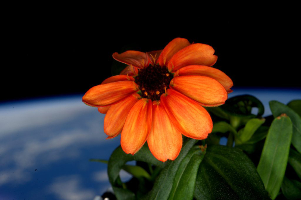 This image made available by NASA via Twitter by space station commander Scott Kelly, shows a zinnia flower out in the sun at the International Space Station.
