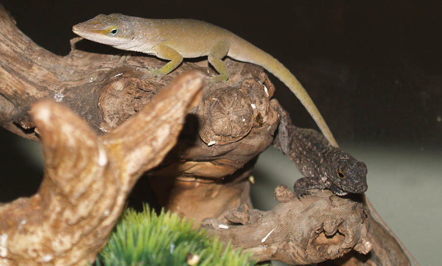 Green anole lizards range across the American Southeast. They're generally about five to eight inches  long and are able to change color from bright green to browns and grays. University of Michigan Museum of Zoology photo
