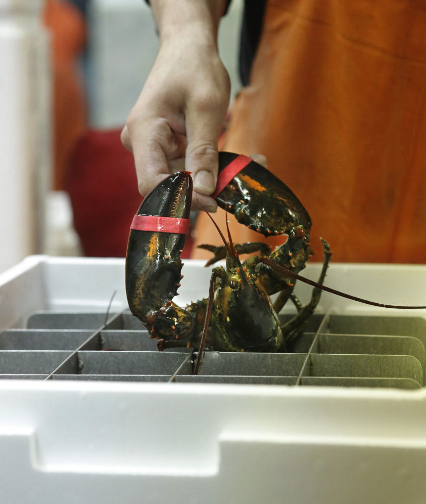 David Jackson of The Lobster Co. in Arundel packs a live lobster to be exported. More exports could help deal with any oversupply in Maine.
