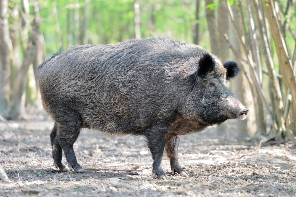 Wild boar, considered a nuisance animal, are plentiful in the South compared with the Northeast and are popular game for hunters from New England, said Steve Lightfoot, news manager for the Texas Parks and Wildlife Department.