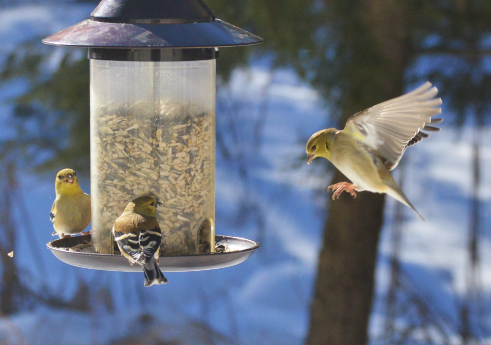 Three's usually a crowd, especially on Valentine's Day, which is when Brian Lovering captured this image of an unwelcome intruder breaking up a couple's feast in his North Yarmouth yard. Social etiquette apparently isn't for the birds. At least not when food is involved.