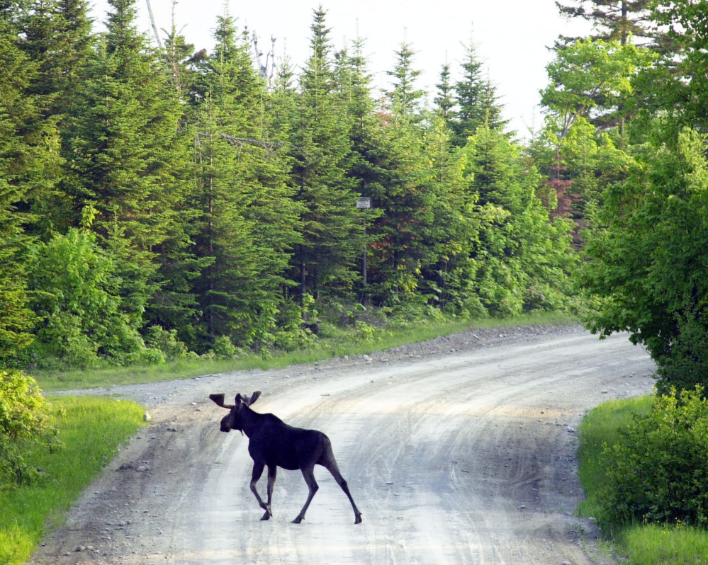 A bull moose crosses a logging road near Kokadjo, east of Moosehead Lake. A proposed cut in hunting permits would affect five wildlife management districts, four in northernmost Maine.