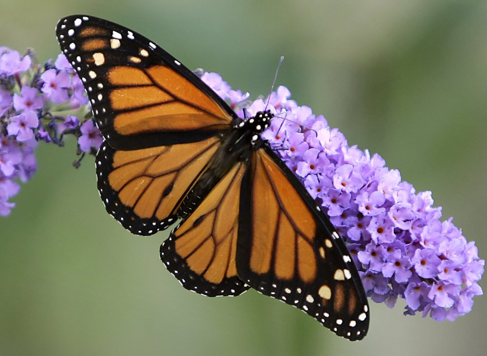 Thanks to conservation efforts by the U.S., Mexico and Canada, the magestic monarch butterfly may be rebounding after years of serious declines.
