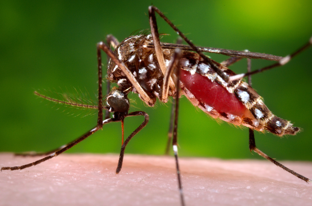 A female Aedes aegypti mosquito acquires blood from a human host.