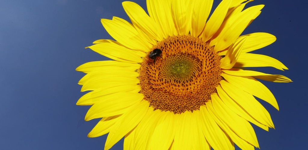 A bumblebee sits on a sunflower in a field in Munich, Germany. Wild pollinators do best in grasslands, which are usually more than just grass, and 97 percent of Europe's grasslands have disappeared since World War II. The Associated Press