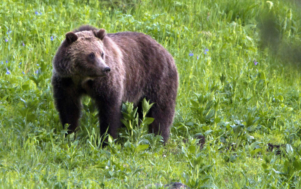 Increased conflicts between grizzlies and humans results in pressure to turn over management of the bears to states, so hunting can be used to control the population.