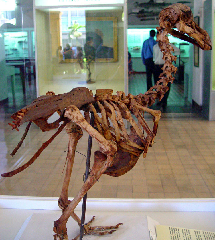 A dodo skeleton is exhibited at the Mauritius Institute Museum. The extinct bird is technically a type of pigeon.