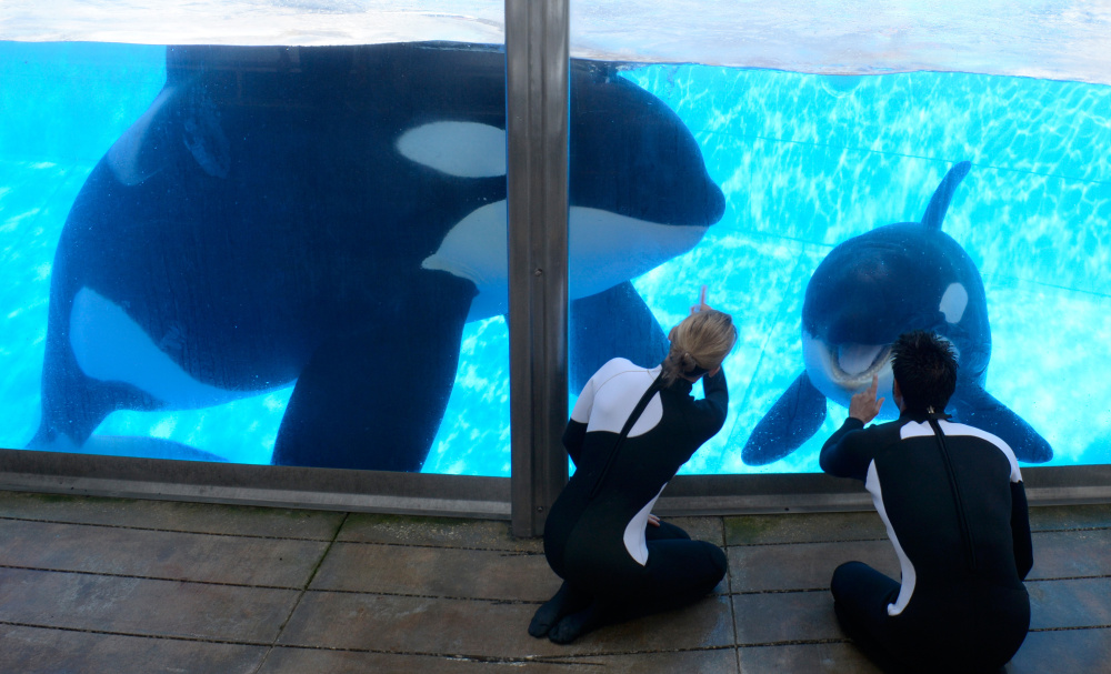 Kelly Flaherty Clark, director of animal training at SeaWorld Orlando, and trainer Joe Sanchez, right, work with killer whales Tilikum, left, and Trua on Monday. Tilikum has a progressive disease that may lead to death, the veterinarian says.