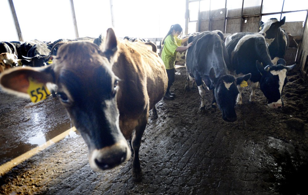 Left: Amber Hunter, 15, leads cows to the more traditional milking parlor at Suzie Q Dairy in Unity. Maine farms have yet to venture into robotics – cost is frequently the major stumbling block.