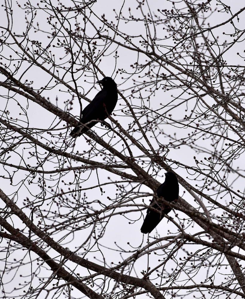 The two crows perching off  Eustis Parkway Road may not have privacy for long.