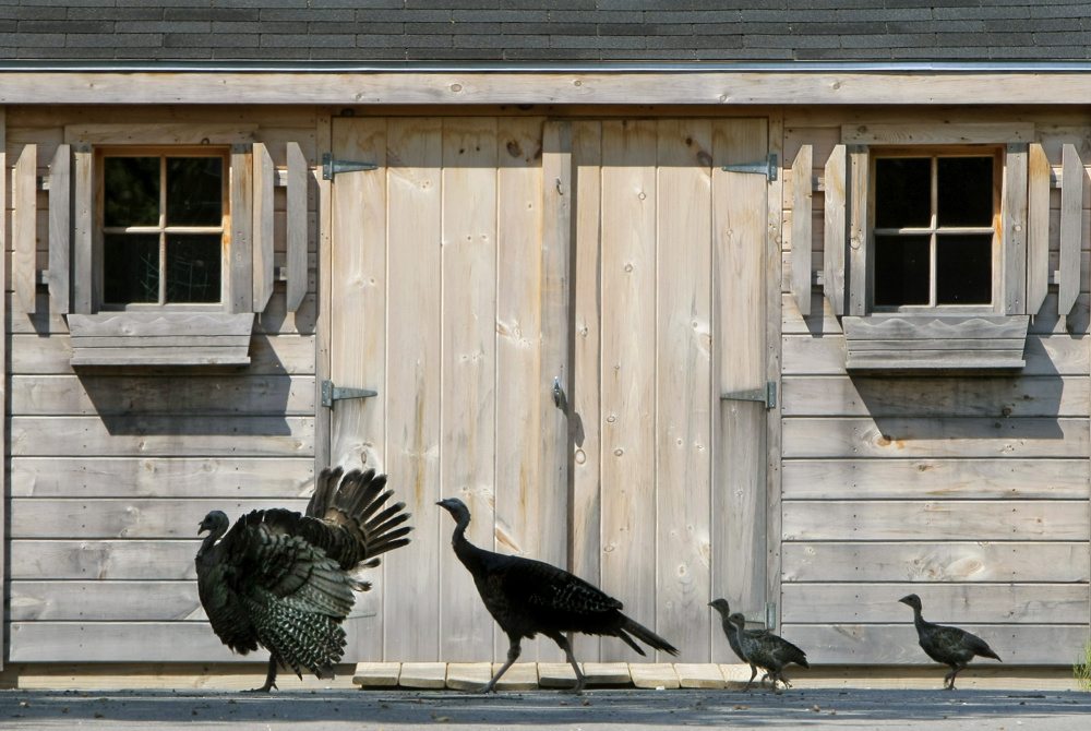 A family of wild turkeys crosses a driveway in Kennebunk. Support for the population – estimated at more than 60,000 – was underwhelming in a Department of Inland Fisheries and Wildlife survey about Maine's big game.