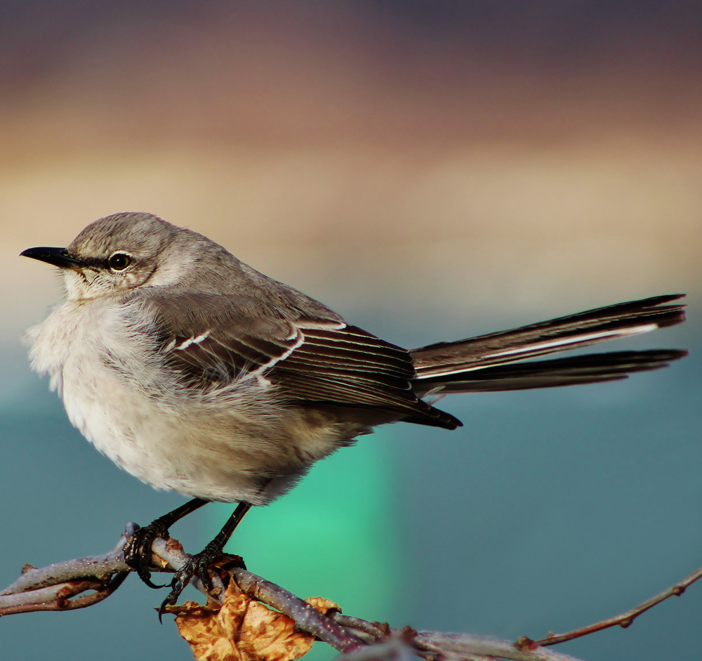 The state bird of multiple states, although not Maine, this northern mockingbird isn't fazed by Portland resident Sharon Tetreau as it rests on a branch at Fort Williams Park.