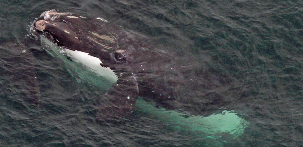 Right whale identified as EgNo1980 photographed in Cape Cod Bay on Feb. 19, 2016. CCS/NOAA image