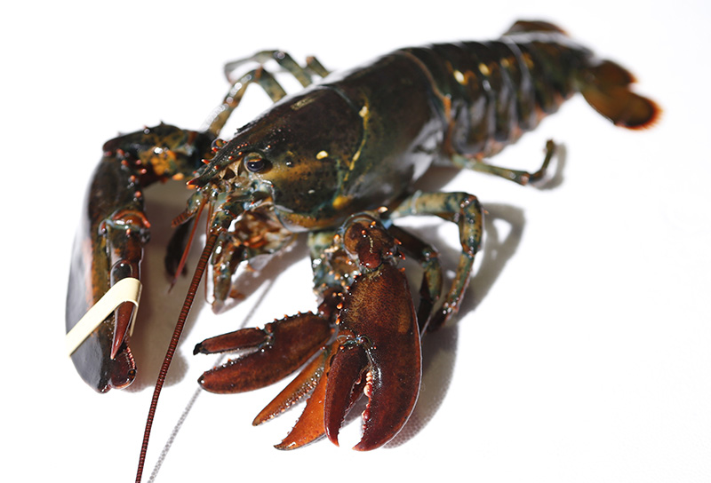 A four-clawed female lobster at Ready Seafood Co., in Portland. The crustacean was most likely caught in Canadian waters before being sold to the wholesale lobster company.