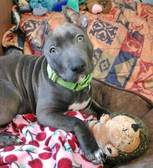 Tonka, a blue-nosed pit mix, is shown here after his ears were cropped. Photo by Betsy Hallett/Aroostook County Human Society