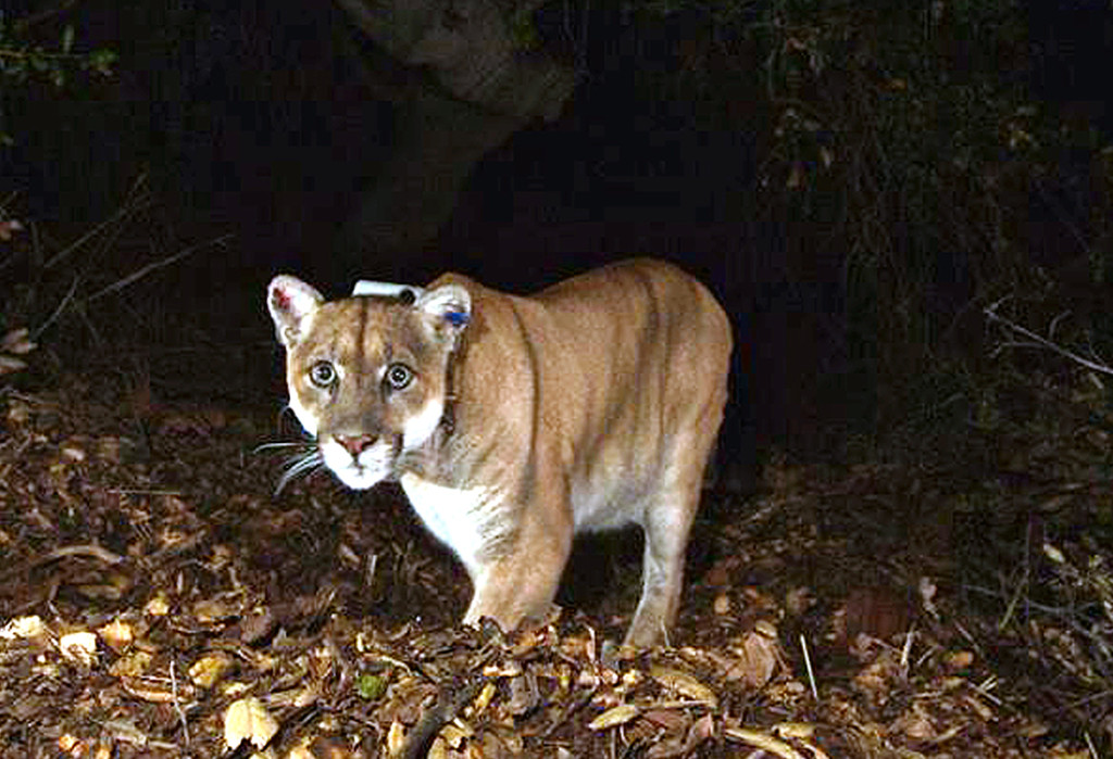 This 2014 photo provided by the National Park Service shows the Griffith Park mountain lion known as P-22. Officials believe P-22 made a meal of a koala at the L.A. Zoo.