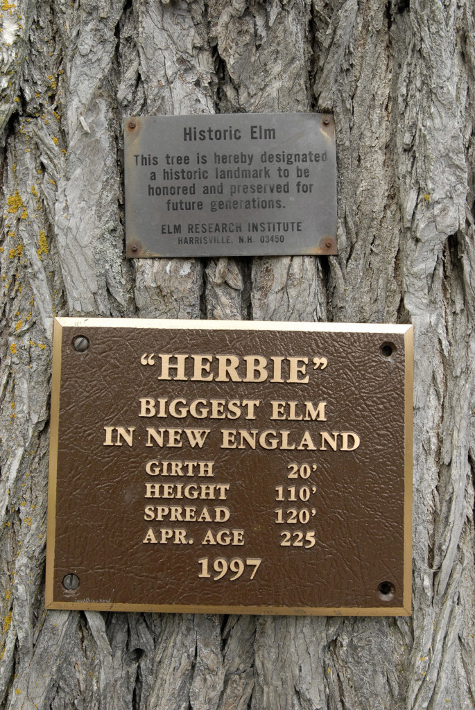 This plaque is attached to the trunk of an elm tree called