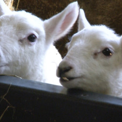 Two baby lambs peek over a railing at North Star Sheep Farm. About 40 lambs are born every day at North Star from late February to May.