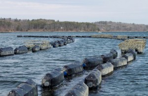 Cages containing oysters float on the Damariscotta River in Walpole.