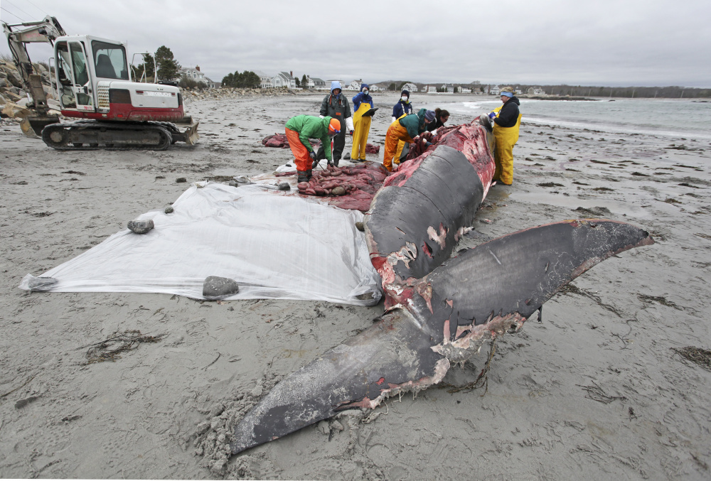 Volunteers and researchers from the New England Aquarium perform a necropsy to determine the cause of death of a minke whale that washed up on a Biddeford beach off Granite Street.