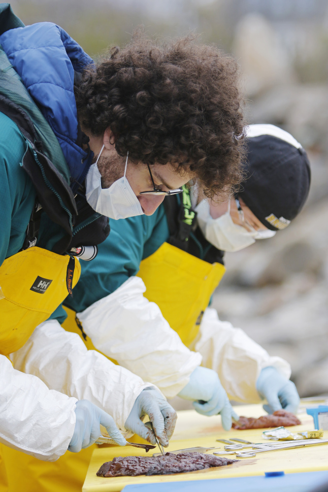 Eran Hornick and Carla Melucci, volunteers with the rescue and rehabilitation department of the New England Aquarium, sample tissues for testing to help determine what caused the death of a minke whale that washed up on a Biddeford beach Thursday.