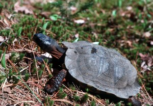A wood turtle