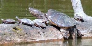 "These painted turtles have a hard time holding their spots in the sun when this snapper decides to catch a few rays. Steve Cassidy of Westbrook said it's ""one of a half dozen or so very large snappers"" in one of the ponds behind Evergreen Cemetery. ""I took the shot (on June 2) along with several others as he emerged,"" Cassidy reports."