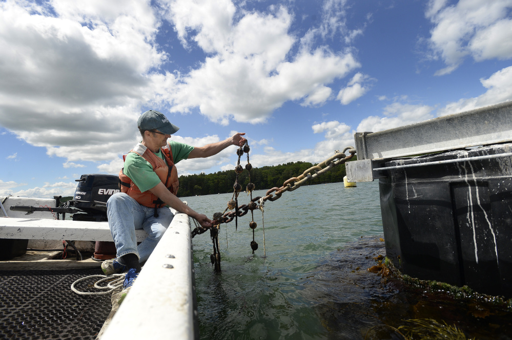 Dana Morse of Maine Sea Grant checks on ear-hung scallops tied to an anchor chain on a mussel raft floating in the Damariscotta River.