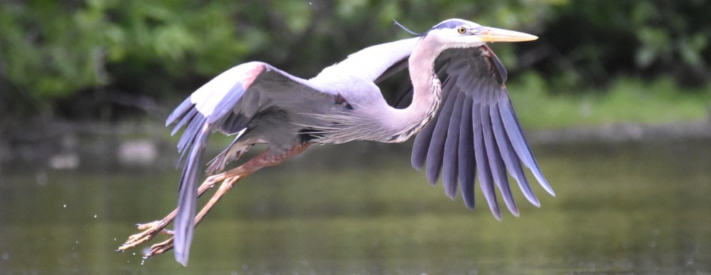 It's off to another fishing spot for this great blue heron that Peter Brokofsky caught in midair near Evergreen Cemetery.