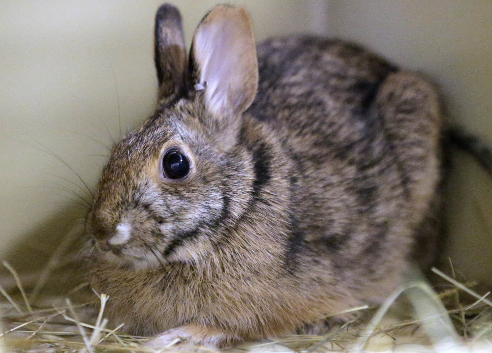 New England cottontail rabbits look like the eastern cottontail.