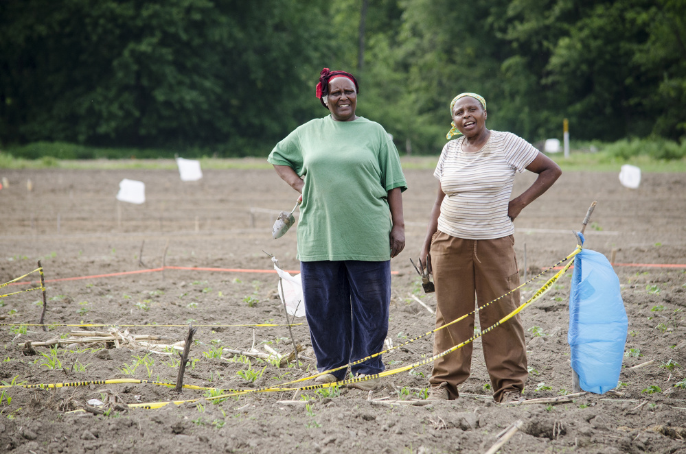 Mary Kinyua and Josephine Kihu, both from Kenya, work on their crops at Flats Mentor Farm, run by World Farmers in Lancaster, Mass.