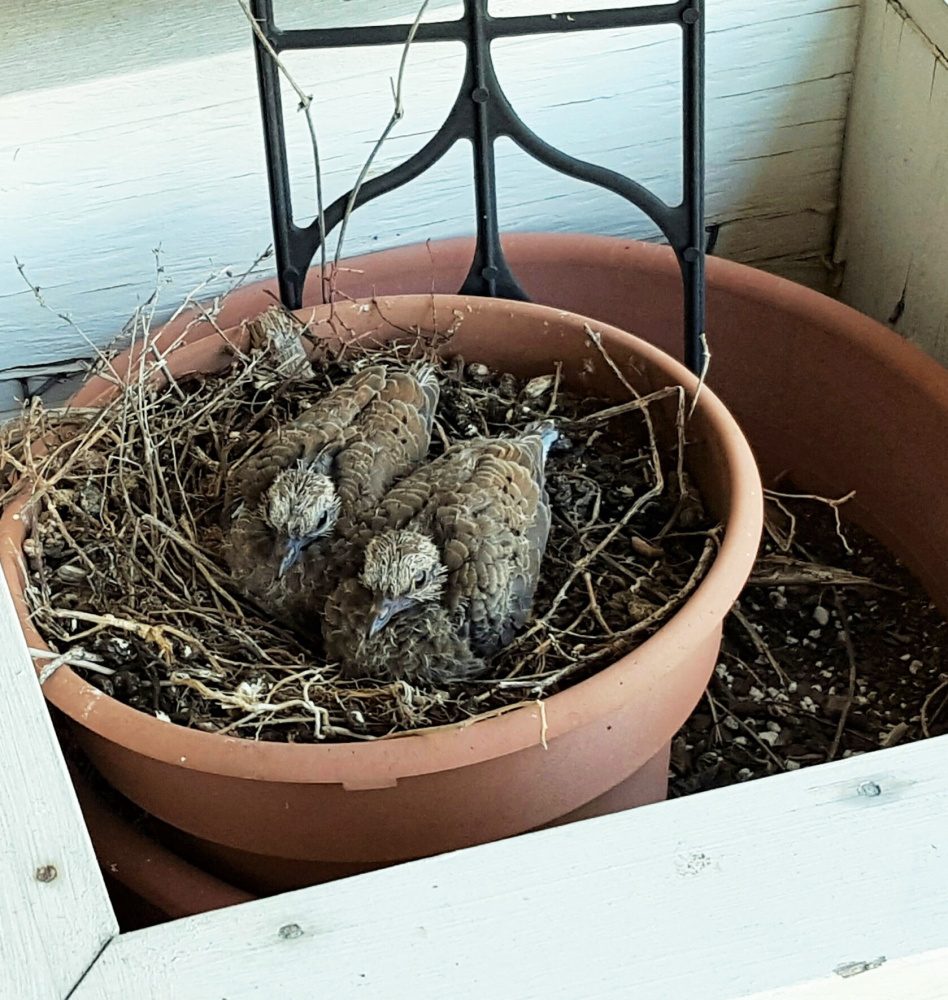 For the past couple springs, Jim Kanak, of Wells, says mourning doves have nested in a planter on his back deck. This year he's had two nestings, and this photo shows the outcome of the most recent. The squabs have been eating well, and soon mama bird – and Kanak – will endure empty planter syndrome.