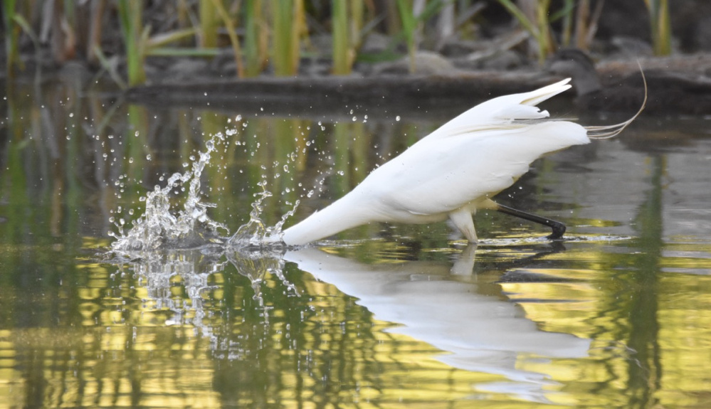 Perhaps this egret also got itself a tasty feast on Evergreen Pond, but if so, it swallowed it before Peter Brokofsky of Portland could get proof.