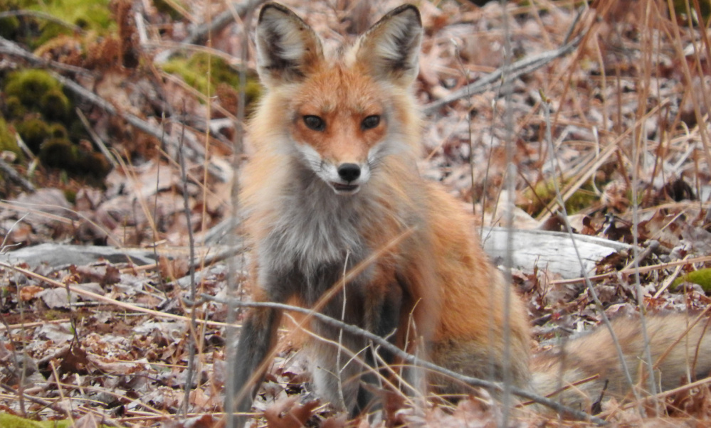 A young red fox strikes a handsome pose, and Kristen Holmberg of Kennebunk takes advantage on Drakes Island.