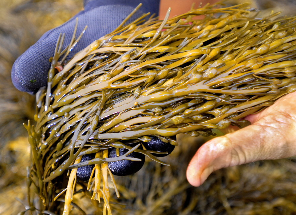The number of wild-seaweed harvesters in Maine has held steady at around 150 to 170 for the last few years, and there are a handful of aquaculture seaweed farmers.