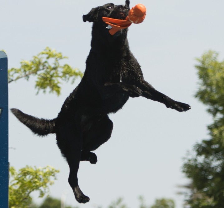 Cooper, a black Labrador retriever of Shaftsbury, Vt., catches a toy in midair, on his way to a jump of 20 feet 8 inches. The dog placed among the top three in the Elite Class of the Big Air Distance event of the Dock Dogs jumping competition in  Scarborough on Sunday.