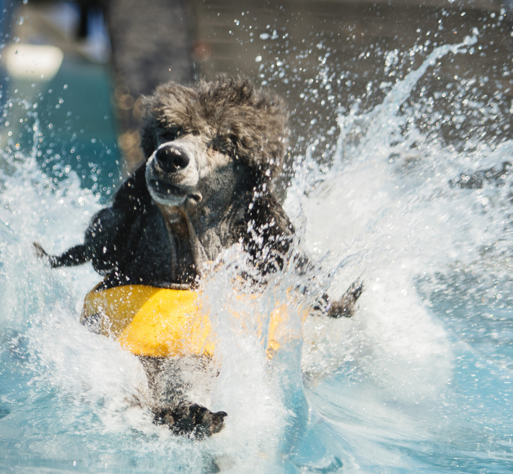 Standard poodle Astrid, who is owned by Amy Stempel of Wakefield, R.I., lands in the pool during the distance competition.