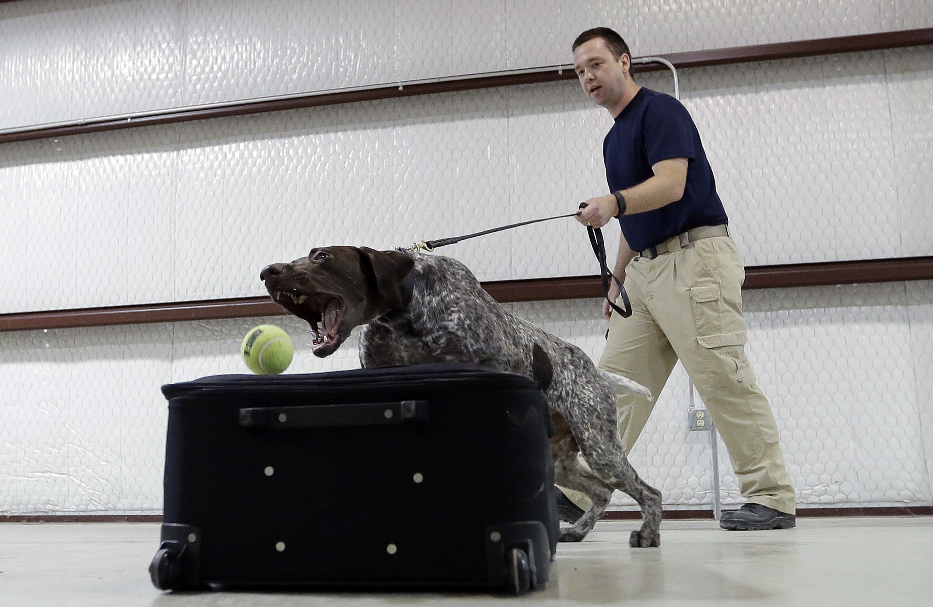 Transportation Security Administration dog trainer Mitchell Brown works with Atilla, a bomb-sniffing dog, in a makeshift luggage area at Lackland Air Force Base training facility in Texas.   Associated Press/Eric Gay