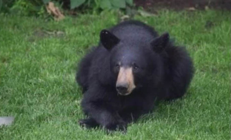 The Scarborough Police Department posted on its Facebook page Wednesday this photo and video of the bear raiding a bird feeder.