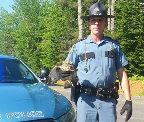 Maine State Police Trooper Samuel Tlumac and bystanders in Belgrade helped rescue an injured baby hawk in Belgrade Friday morning.
