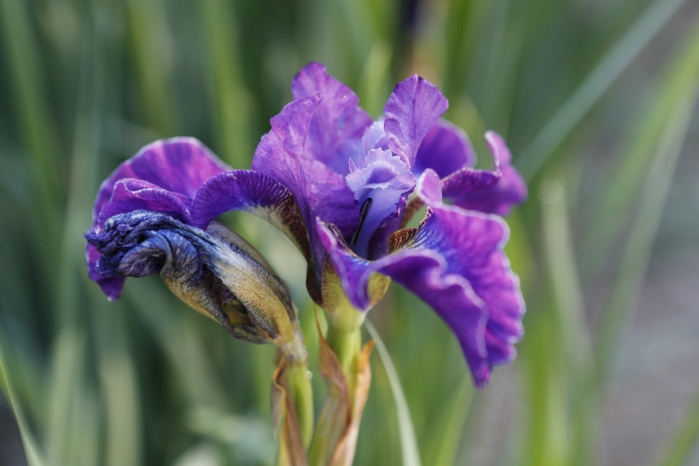 An iris is seen in Gorham. Joel Page/Staff Photographer