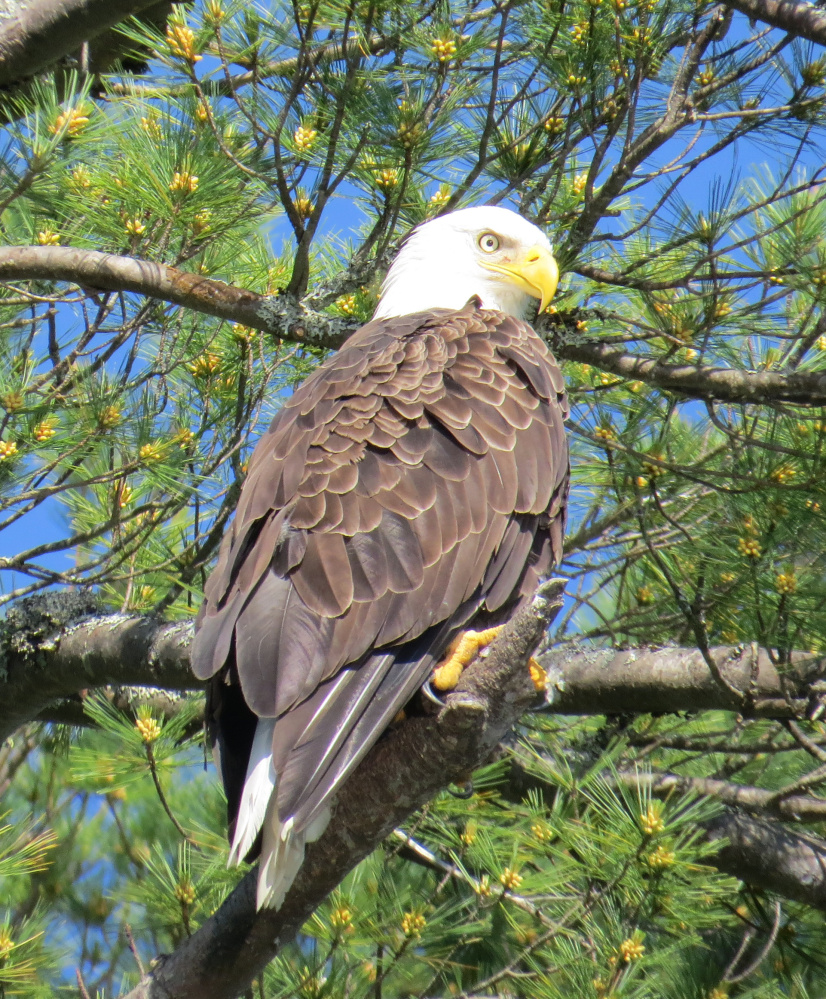 This eagle isn't too happy about having its image captured by Bob Harrison of Cape Elizabeth, taken from his canoe in Alamoosook Lake in Orland. Sure enough, the bird soon showed its displeasure by taking off for another tree much further down the lake.