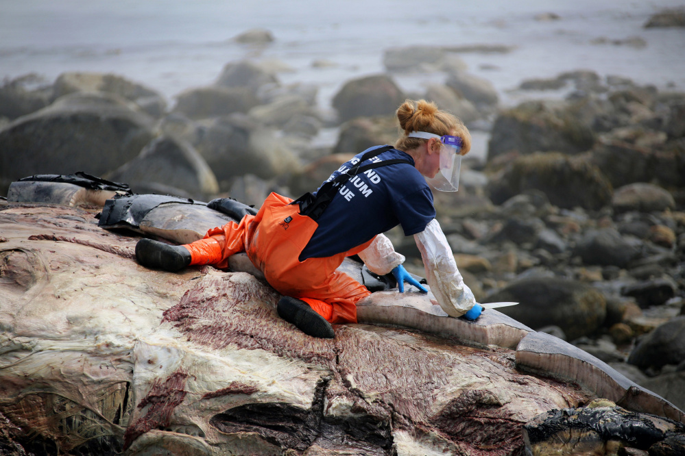 Ulika Wocial, a New England Aquarium biologist, cuts chunks of blubber from the carcass of a humpback whale known as Snow Plow on Foss Beach in Rye, N.H. A necropsy performed on the beach found no obvious signs pointing to cause of death.